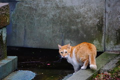 """What do you want?"" (halskygene) Tags: street city pink orange cats lake flower look japan cat river asian temple tokyo photo pond eyes asia petal want meow around turning"