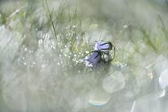 Bokeh painting - No.1 (George Pancescu) Tags: nikon d810 70200mm bokeh flower grass plant dew light nature natural outdoor outstandingromanianphotographers retezat mountains purple green romania