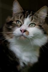 Kira, Maine Coon Cat (pclaesen) Tags: feliscatus mainecoon longhair langhaar cat kat housepet huisdier fur vacht nikond3200 tilburg nederland netherlands holland brabant
