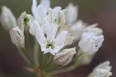 White Brodiaea (corey.raimond) Tags: plant whiteflower washington flora lily wildflower triteleia westernwashington asparagaceae whitebrodiaea hyacinthina triteleiahyacinthina