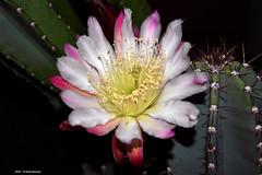 Assaporando il fresco della notte (Paolo Bonassin) Tags: flowers cactus cactaceae cereus succulente cereusperuvianus cactacee