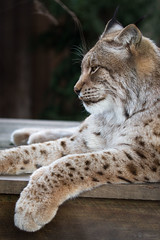 Lynx (Cloudtail the Snow Leopard) Tags: animal cat mammal zoo feline katze lynx tier luchs amneville sugetier