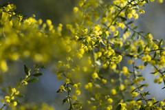 Acacia sp. (louisa_catlover) Tags: park plant nature canon garden eos spring dof native bokeh australian australia melbourne victoria september botanic botanicgarden 2014 balwyn maranoa 60d maranoagardens
