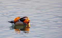 mandarin duck (08) (Vlado Ferenčić) Tags: winter lakes ducks croatia mandarin mandarinduck nikond90 zaprešić zajarki lakezajarki sigma150500563