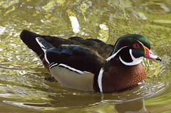 Wood Duck (Gerard Knight) Tags: park wood nature water march duck pond wildlife 2015 phenoixpark