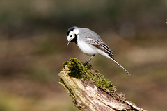 Witte Kwikstaart-8501 (Djien) Tags: vogels oostvaarderplassen