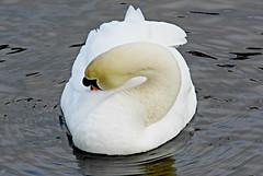 Ssssswan! ('cosmicgirl1960' NEW CANON CAMERA) Tags: nature water birds bills cymru feathers snowdonia waterbirds gwynedd beaks northwales llynpadarn yabbadabbadoo