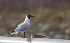 20150415_0578 (Pho2s4me) Tags: birds fugler sandvika hettemke