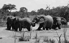 Elephants in the Okavango (Hammerhead27) Tags: africa blackandwhite nature water monochrome animal bush wildlife elephants botswana herd moremi okavango