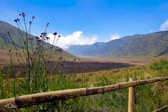 Caldera du Bromo (Thomas Arepo) Tags: flower fleur trekking indonesia landscape volcano java scenery asia hiking bamboo caldera asie bambou bromo volcan randonne indonsie