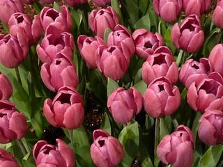 Chicago, Navy Pier, Garden Show, Pink Tulips