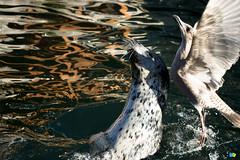 Fish Fight (Thomas Rousselot) Tags: sunshine coast seagull victoria seal sunshinecoast seagul 2014