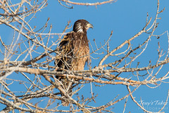 Juvenile Bald Eagles pose for pictures
