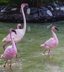 Dance of the flamingos (derena_d.) Tags: birds four zoo stand spain december flock canaryislands touristattraction colony regiment 2014 flamboyance oasispark fuertenventura