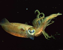 new update Giant Squid Wallpapers HD For Desktop hdwallpapersaz.com (hdwallpapersaz) Tags: wallpapers giantsquid