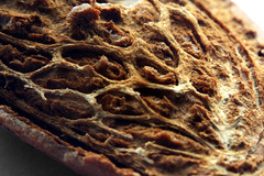 Almond (Iñakisesupone) Tags: brown closeup canon eos 350d almond marco nut almendra marrón cáscara frutoseco