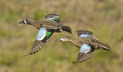 BWT6393001 (pixel pitch) Tags: teal pair flight bluewing