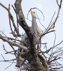 Structural Designer (boni5d) Tags: trees sky birds sticks nest wildlife mating build rookery blueherons