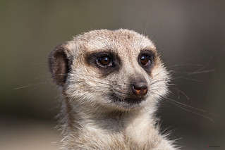 The sun, trees and blue sky in the eyes of a meerkat. (Please zoom in!!)