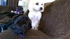 Watch dog. (msknoogle) Tags: pets cute dogs animals mutt funny maltese jowls funnypets ebonyandivory rescues gaurddog funnydogs