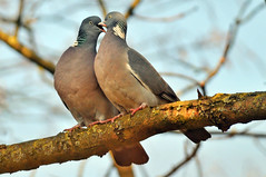 Falling in love with you (Yako36) Tags: bird belgium bruxelles ave birdwatching tc14e nikonafs300f4 nikond300 keyenbempt
