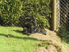 Siamang gibbons (Vicky Hardingham) Tags: zoo meerkat leopard lemurs otters snowleopard owls banham