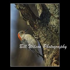 Red-bellied Woodpecker (wildlifephotonj) Tags: bird nature birds woodpecker wildlife redbelliedwoodpecker woodpeckers naturephotography naturephotos wildlifephotography wildlifephotos redbelliedwoodpeckers natureprints wildlifephotographynj naturephotographynj