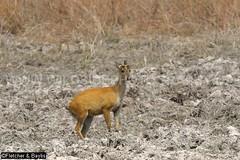 37962 Northern red muntjac (Muntiacus vaginalis) in a seasonal waterhole (trapeang) in dry deciduous forest during the dry season, Mondulkiri Protected Forest, Mondulkiri, Cambodia. IUCN=Least Concern. (K Fletcher & D Baylis) Tags: animal fauna mammal asia cambodia wildlife deer waterhole indochina muntjac barkingdeer mondulkiri muntiacus trapeang leastconcern wildsidephotography drydeciduousforest srepok fletcherbaylis easternplainslandscape northernredmuntjac muntiacusvaginalis mondulkiriprotectedforest srepokwildernessarea