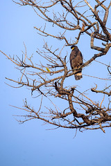 Lookout... (itsrbtime) Tags: india nature birds nikon eagle wildlife sigma perch mysore cse crestedserpenteagle d610 120400 sigma120400 sigma120400oshsm 120400f4556 rijubhattacharya itsrbtime 120400oshsm 120400f4556oshsm nikond610