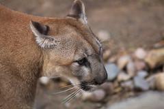 Puma ~ The Big Cat (SergeK ) Tags: travel food nature proud night cat outside wildlife fast puma predator cougar felin concolor costarican costaricensis sergek