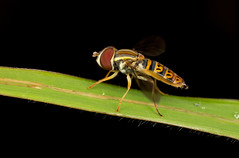 Hover Fly Toxomerus sp (mandokid1) Tags: macro canon costarica flies mpe65 mt24 5dmk111