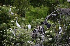 Great Egrets (Susan L Pettitt Photography) Tags: travel bird nature animal fun orlando florida wildlife explore wildanimal fl egrets greategrets gatorland floridawildlife orangeblossomtrail obt wildbird exploreflorida