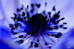 Moody Blue (acwills2014) Tags: blue flower macro beautiful beauty calm anemones tranquil azur cobalt macroflowers shadesofblue moodyblue macroblue