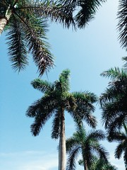 Palm trees no.3 (chloejadeyoung) Tags: travel family trees summer vacation sky usa sun holiday hot green nature america outdoors photography student warm break florida miami branches sunny palm abroad heat tropical humid 2015