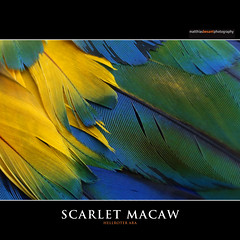 SCARLET MACAW (Matthias Besant) Tags: bird art nature animal deutschland hessen body natur feather parrot aves colourful pied macaw coloured farbig bunt papagei ara tier vogel scarletmacaw feder tierfoto farbenfroh krper tierfotografie federn federkleid feathering hellroterara vogelburg animalfotography matthiasbesant