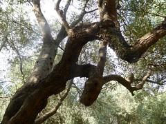 Rama de olivo (Miguelngel) Tags: sevilla olive oliva rama olivo buhaira