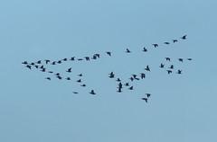 Geese (Jaedde & Sis) Tags: silhouette geese many flight barnacle bramgæs