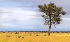 African plains (Sheldrickfalls) Tags: tree southafrica plains krugernationalpark mpumalanga krugerpark kruger africanplains