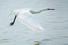 Reddish egret (white morph) in flight (billd_48) Tags: winter nature birds fl egret whitemorph wadingbirds reddishegret