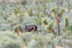 Joshua Tree Companion (Francisca Vega Weber) Tags: spring nevada mojavedesert wildhorse pahrump nyecounty nikond5200 nikkor50mm118g