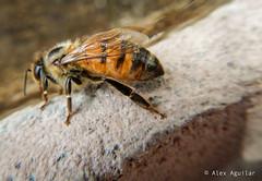 Abeja (AlexAguilarT) Tags: abejas flores arboles vacas gallinas