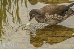 Dropping a Feather (Sue_Hutton) Tags: summer wildlife mandarinduck waterfowl waterbody nanpantanreservoir june2016