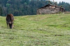 KedarKantha_039 (SaurabhChatterjee) Tags: trek hiking uttaranchal dehradun kedar kedarkantha uttarakhand sankri kedarkanthatrek saurabhchatterjee siaphotographyin trekkinginuttrakhand