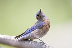 Bluebird Yoga (Rick Derevan) Tags: california bird bluebird westernbluebird sialiamexicana