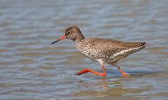 Chevalier gambette (Guy&Nicole) Tags: bird oiseau commonredshank tringatotanus f63 15000 charadriiformes iso640 700mm chevaliergambette scolopacids