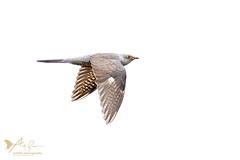 Cuckoo in flight 3 (ABPhotosUK) Tags: animals birds canon cuckoo cuculuscanorus dartmoor devon ef14xextenderiii ef100400mmisii eos7dmarkii inflight smeardondown teleconverter wildlife