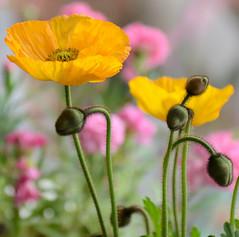 Yellow Iceland Poppy (Papaver Nudicaule) (Alona Azaria) Tags: pink flowers flores flower nature fleur yellow fleurs bokeh pastel fiori fiore klaproos papaver pavot mohn icelandpoppy valmue