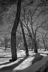 Trees in Winter by Lake Simcoe 2014-03 (David.W.) Tags: trees winter blackandwhite bw ir infrared