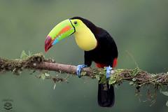 Toucan (Megan Lorenz) Tags: travel november wild bird nature toucan rainforest costarica wildlife raining avian centralamerica wildanimals keelbilledtoucan 2015 mlorenz meganlorenz