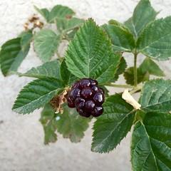 Blackberry (Assaf Shtilman) Tags: black shiny blackberry sweet ripe